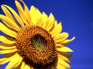 sunflower_11