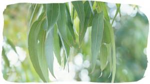 eucalyptus_hero-1-992x558